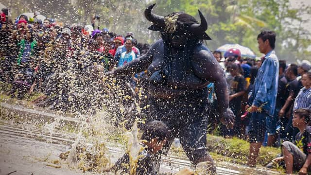 Menengok Aksi 'Manusia Kerbau' di Tradisi Kebo-keboan, Banyuwangi