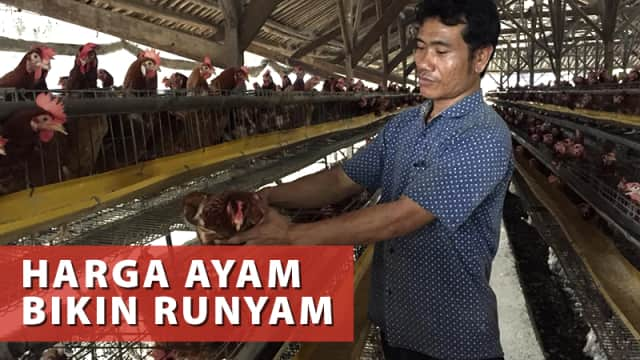 Curhat Peternak yang Rugi Ratusan Juta saat Harga Daging Ayam Jeblok