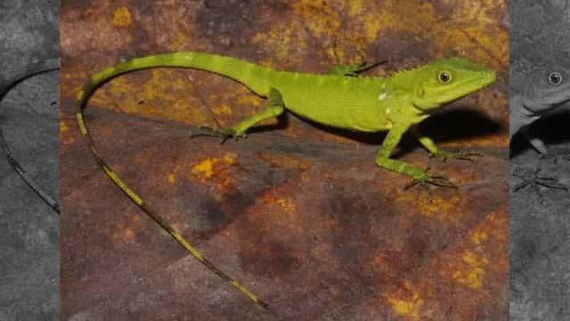 Peneliti LIPI Temukan Spesies Kadal Baru di Sumatra Barat