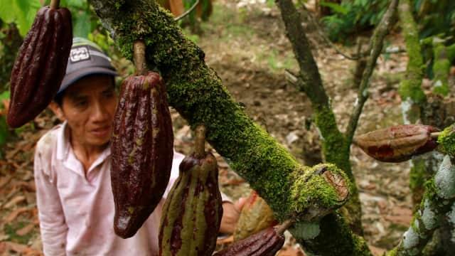 Perang Dagang AS-China Tak Berdampak Terhadap Ekspor Kakao Indonesia