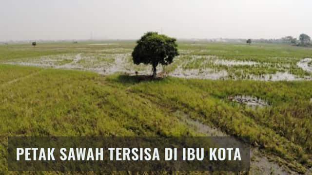 Jakarta Utara, Lumbung Padi yang Tersisa di Ibu Kota