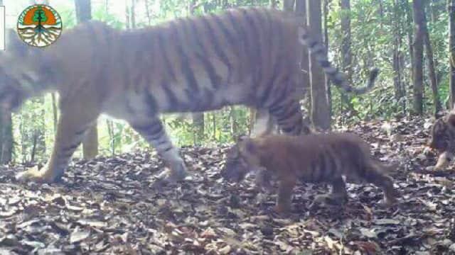 Harimau Sumatera yang Turun ke Desa di Aceh Tak Ganggu Masyarakat