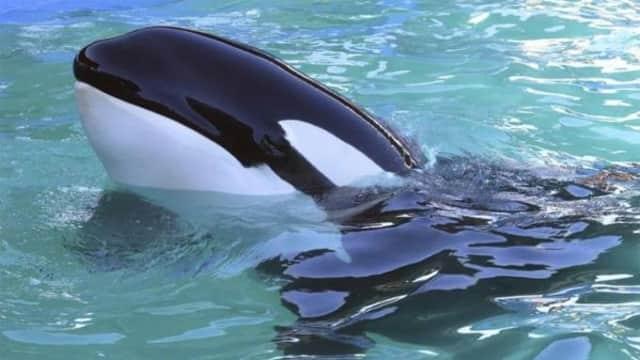 Paus Orca Terlihat di Gorontalo