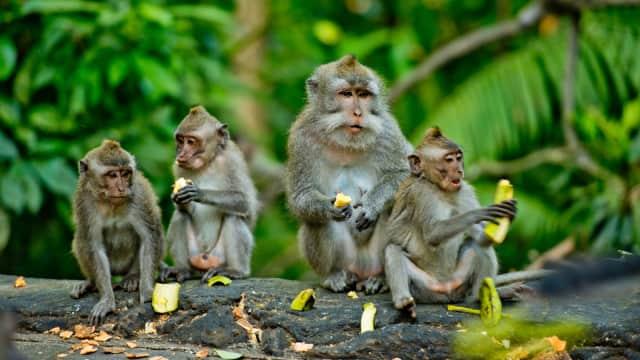 Gara-gara HP Dicuri, Pria di Thailand Video Call dengan Monyet