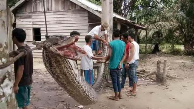 Kisah Perjuangan Robert Bergulat dengan Ular 'Anaconda' di Riau