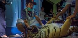 Harimau Sumatera Mati Terjerat Perangkap dalam Kondisi Bunting