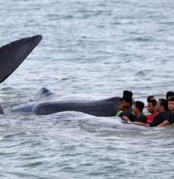 Warga Aceh Besar Mengevakuasi Ikan Paus Terdampar